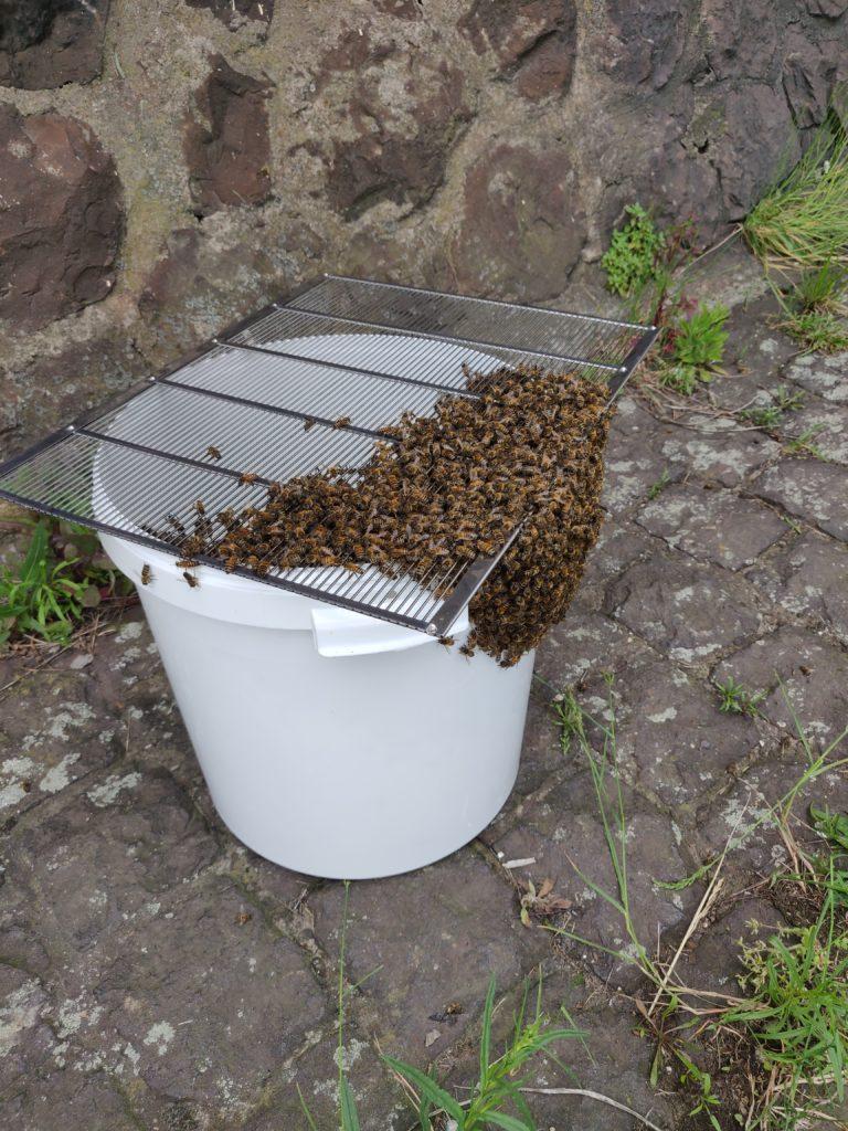 Bienenschwarm im Eimer